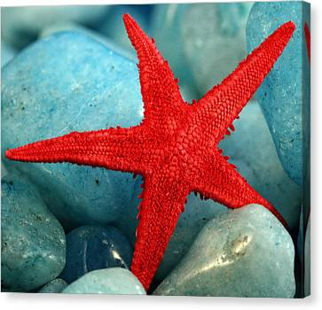 Red Starfish Canvas Print by Gina Cormier