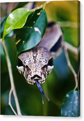 Red Tail Boa Canvas Print by Ron Dubin