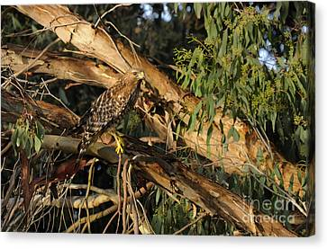 Red Tail Hawk Camouflage Canvas Print by Marc Bittan