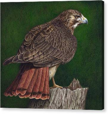 Red Tail Hawk Canvas Print by Pat Erickson