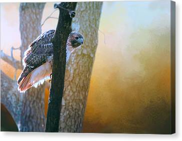 Red Tail Hawk Peek A Boo Canvas Print by Barbara Hymer