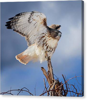 Canvas Print featuring the photograph Red Tail Hawk Perch by Bill Wakeley