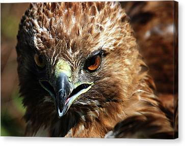 Canvas Print featuring the photograph Red-tail Hawk Portrait by Anthony Jones
