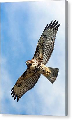 Red Tail Hawk Canvas Print by Randall Ingalls