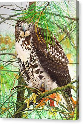 Red Tail Hawk, Thistle Canvas Print by Ken Everett