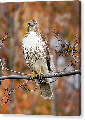 Red Tail In Autumn Glory Canvas Print by Timothy McIntyre