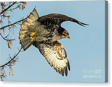 Red-tail  Takeoff Canvas Print by Mike Dawson