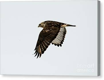 Red-tail Wings Down Canvas Print by Mike Dawson