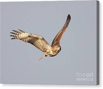 Bif Canvas Print - Red Tailed Hawk - 20100101-7 by Wingsdomain Art and Photography