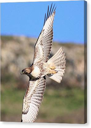 Red Tailed Hawk - 20100101-8 Canvas Print by Wingsdomain Art and Photography