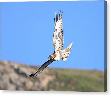 Red Tailed Hawk 20100101-6 Canvas Print by Wingsdomain Art and Photography