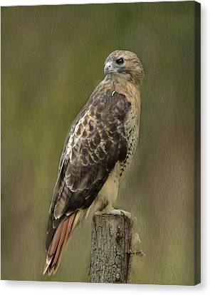 Red-tailed Hawk Canvas Print by Ann Bridges