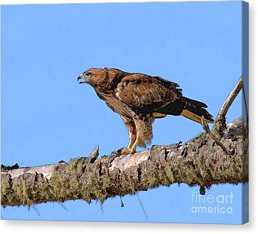 Red-tailed Hawk Canvas Print by Betty LaRue