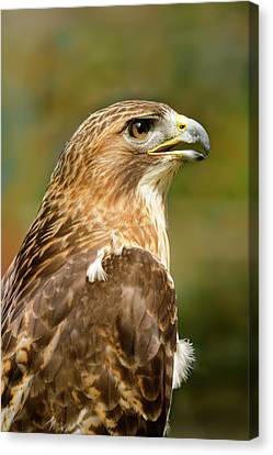 Canvas Print featuring the photograph Red-tailed Hawk Close-up by Ann Bridges