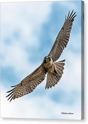 Red-tailed Hawk Coming At Me Canvas Print
