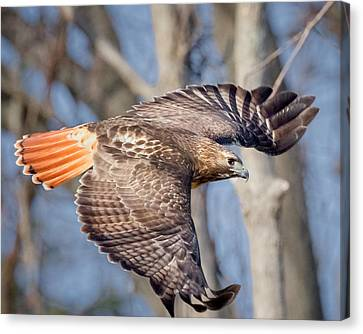 Canvas Print featuring the photograph Red Tailed Hawk Flying by Bill Wakeley
