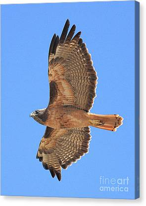 Red Tailed Hawk In Flight 2 Canvas Print by Wingsdomain Art and Photography