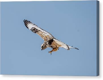 Red Tailed Hawk In Flight Canvas Print by Paul Freidlund