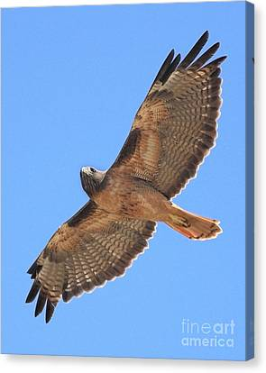 Red Tailed Hawk In Flight Canvas Print by Wingsdomain Art and Photography