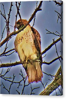 Red Tailed Hawk Canvas Print by Judy Via-Wolff