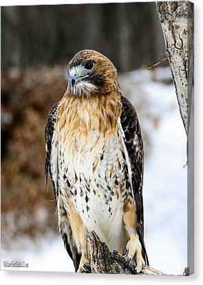 Red Tailed Hawk Nature Wear Canvas Print