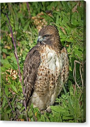 Red-tailed Hawk On The Ground Canvas Print by Loree Johnson