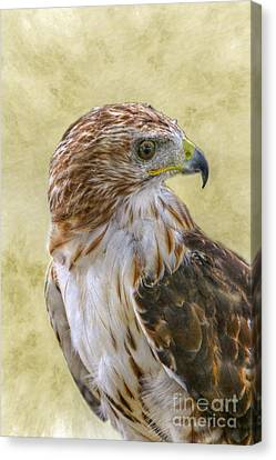 Red Tailed Hawk Canvas Print by Randy Steele