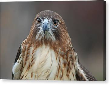 Canvas Print featuring the photograph Red Tailed Hawk by Richard Bryce and Family