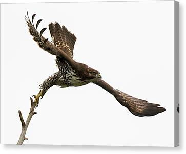 Red-tailed Hawk Swoosh Canvas Print