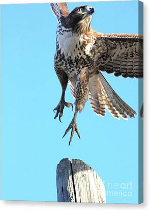 Red Tailed Hawk Taking Off . 40d10170 Canvas Print by Wingsdomain Art and Photography
