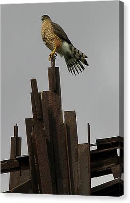 Red-tailed Hawk Canvas Print by Vari Buendia