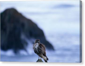 Red-tailed Hawk - Westport Union Landing State Beach Canvas Print by Soli Deo Gloria Wilderness And Wildlife Photography