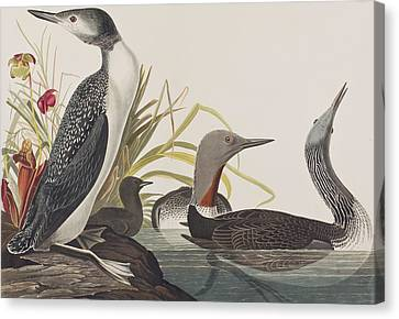 Red-throated Diver Canvas Print by John James Audubon