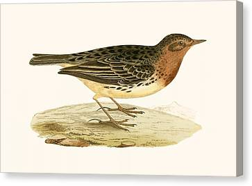 Red Throated Pipit Canvas Print by English School