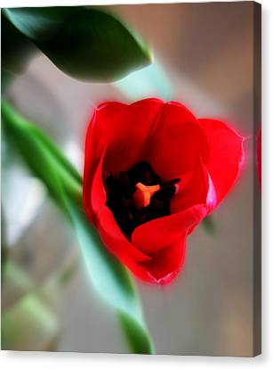 Red Tulip Canvas Print by Cathie Tyler