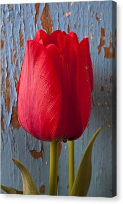 Old Wall Canvas Print - Red Tulip by Garry Gay