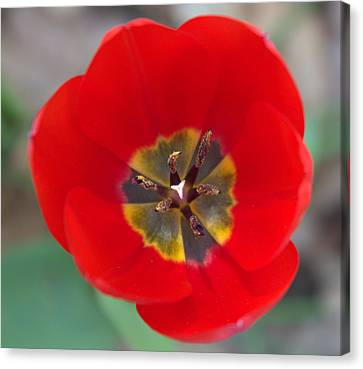 Red Tulip In 3d Canvas Print by Liz Allyn