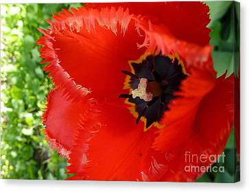 Canvas Print featuring the photograph Red Tulip by Jean Bernard Roussilhe