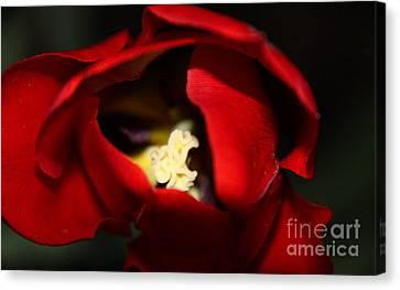 Canvas Print featuring the photograph Red Tulip by Jolanta Anna Karolska