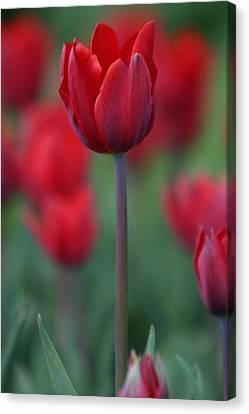 Red Tulip Canvas Print by Martina Fagan