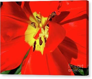 Red Tulip Canvas Print by Nina Ficur Feenan