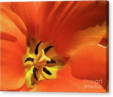 Canvas Print featuring the photograph Red Tulip by Susan Cole Kelly