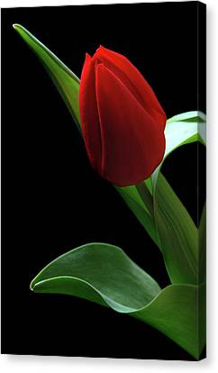 Red Tulip. Canvas Print by Terence Davis
