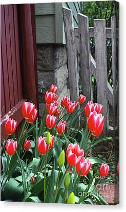Red Tulips In A Wisconsin Garden Canvas Print by Greg Kopriva