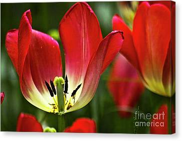 Red Tulips Petals Canvas Print by Heiko Koehrer-Wagner