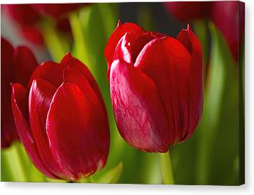 Red Tulips Canvas Print by Sharon Talson