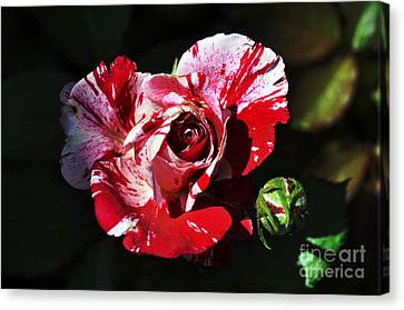 Bruster Canvas Print - Red Verigated Rose by Clayton Bruster