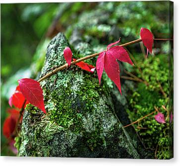 Canvas Print featuring the photograph Red Vine by Bill Pevlor