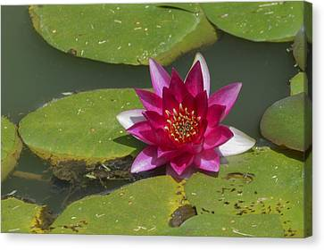 Red Water Lily Canvas Print by Linda Geiger