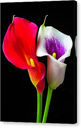 Distinctive Canvas Print - Red White And Purple Calla Lilies by Garry Gay